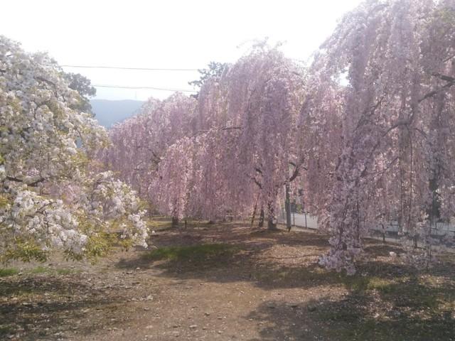 枝垂桜2.jpg
